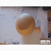 Продам столовое яйцо страуса