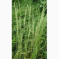 ООО НПП «Зарайские семена» закупает семена Райграс однолетний от 5 тонн