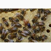 Пчеломатка Бакфаст