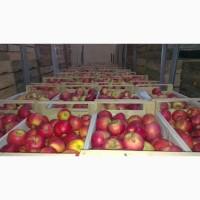 Яблоки Гала от сельхозпроизводителя