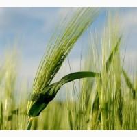 Семена ржи озимой Влада (РС-3)