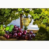 Виноград саперави северный красный