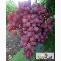 Саженцы и черенки винограда почтой по всем регионам