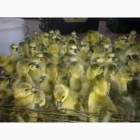Принимаем предварительные заказы на всю с/х птицу и инкубационное яйцо на сезон 2019