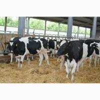 Продажа Племенные и товарные нетели молочного направления оптом