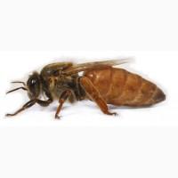 Пчелопакеты карники и пчел бакфаст (от заводчиков)