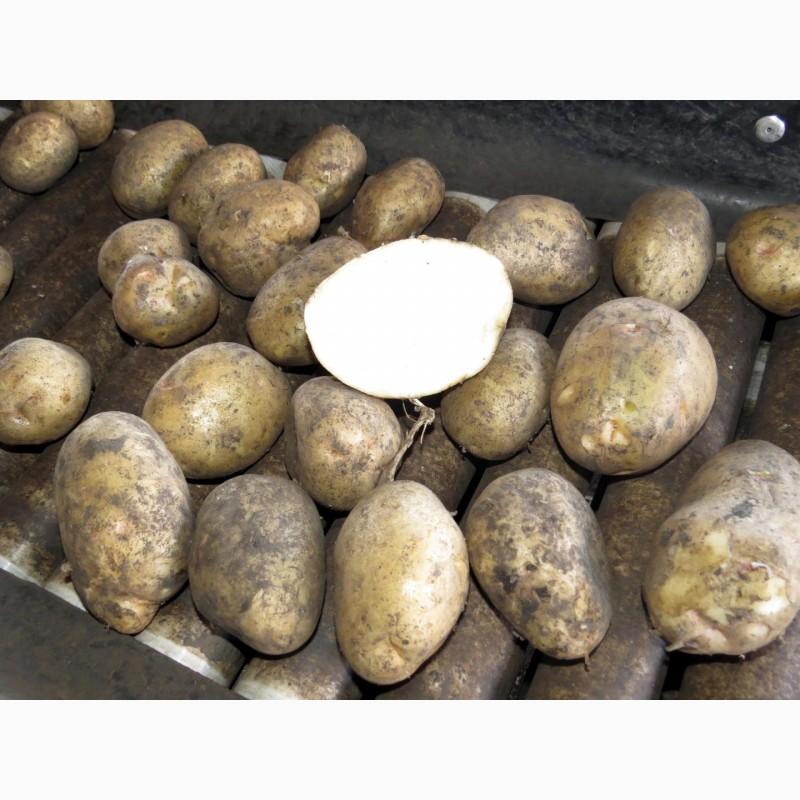 это фото битвы картофеля невский том, где легально