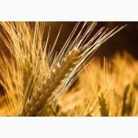 Семена пшеницы твердой Памяти Янченко (ЭС, РС1)