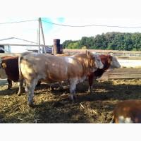 Продажа племенных бычков симментальской породы мясного направления