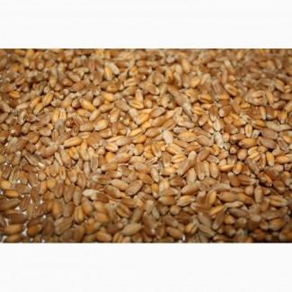 Пшеница 4й класс