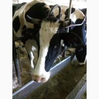 Продажа бычков голштинской породы