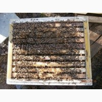 Кавказские высокогорные пчёлы (от заводчика)