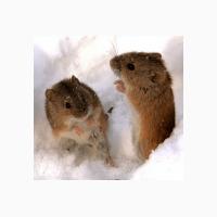 ООО НПП Зарайские семена продает эффективное средство от мышей и крыс Бактокумарин