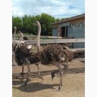 Продам страусят (птенцов Черного африканского страуса)