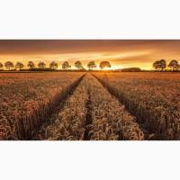 НОВИНКИ семян озимой пшеницы Еланчик, Ахмат, Гомер, Стиль 18, Герда