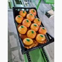 Апельсин Сорта Навелина Вашингтон Валенсия из Турции