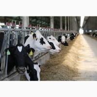 Продаже молочные нетели Черно-пестрой породыьКРС