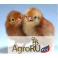 Продаются цыплята цветного бройлера