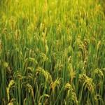 Продается пшеница 4 класса