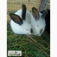 Продаются кролики Калифорнийские и кролики породы Французский баран