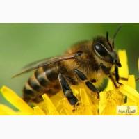 Пчелы, пчелопакеты, пчелосемьи, отводки