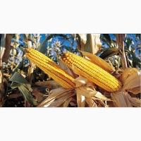 Предлагаем семена гибридов кукурузы урожая 2017года, с одним протравителем