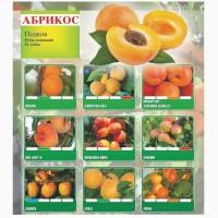Саженцы абрикоса 1 класс из Сербии
