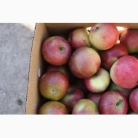Яблоки Бородинка оптом по доступным ценам от производителя