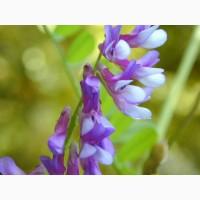Семена Вика-Овес