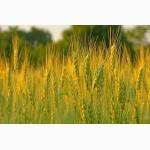Продаем пшеницу 4 класса мягкого cорта