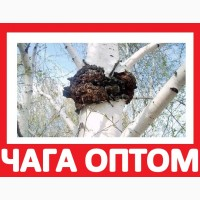 ᐉ 2017 ЧАГА ГРИБ Продажа на Экспорт Мацутаке! Купить Чагу Оптом с Квотой Лицензией
