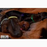 Продам щенков Тайского Риджбека от родителей Чемпионов