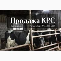 Племенные и Нетели молочных и мясных пород живым весом