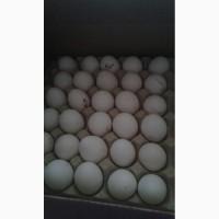 Закупаем яйцо куриное от производителя