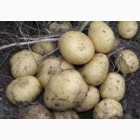 Продаем картофель.Производитель