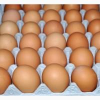 Предлагаем поставку инкубационного яйца бройлера кросса РОСС-30