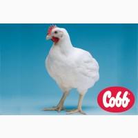 Инкубационное яйцо бройлерное Кобб-500