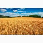 Продаем пшеницу 5 класса (фураж)
