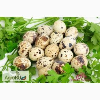 Пищевые перепелиные яйца