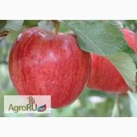 Продам яблоко свежее урожай 2017 Сербия