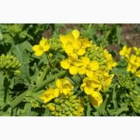 ООО НПП «Зарайские семена» закупает семена горчицы желтой от 20 тонн
