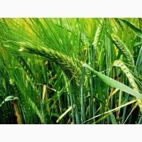 Семена трав, (яровые, озимые)