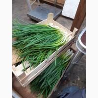 Продам зеленый лук(перо)