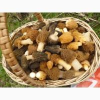 Куплю сосновую до 2.5 см, гриб сморчок, лисичку, , мухоморы