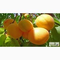 Реализуем абрикос