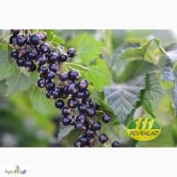 Ягоды черной смородины свежие оптом