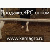 Продажа племенных нетелей молочных пород, черно пестрая порода КРС