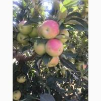Яблоки крымские оптом
