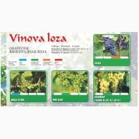 Саженцы винограда 1 класс из Сербии