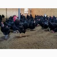 Фермерское хозяйство реализует очень свежее, диетическое куриное яйцо